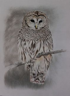 Nicole Banzato illustrator: strix varia-barred owl colored pencils