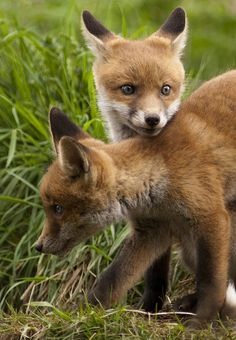 Fox Cubs.     (KO) Trouble is brewing here. No doubt Mama is watching from the shadows waiting for naughtiness to erupt.