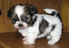 Quality imperial Shih tzu Puppies To Reserve For Forever Homes - http://www.free-ads-online.co.uk/?ad=quality-imperial-shih-tzu-puppies-to-reserve-for-forever-homes