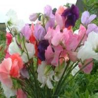 No garden is complete without Sweet Peas.