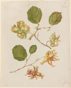 Johanna Helena Herolt (1692-1723), Nooten Twe Soort (Zwei Sorten Nüsse)
