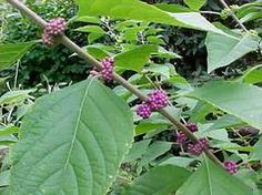 Callicarpa americana Common Name: beautyberry Type: Deciduous shrub Family: Lamiaceae Native Range: Southeastern United States Zone: 6 to 10 Height: 3.00 to 6.00 feet Spread: 3.00 to 6.00 feet Bloom Time: June to August Bloom Description: Lavender, pink Sun: Full sun to part shade Water: Medium
