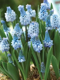 Muscari Azureum Grape Hyacinth Type: Bulbs Height: Short (Plant apart) Bloom Time: Spring to Late Spring Sun-Shade: Full Sun to Half Sun/ Half Shade Zones: Find Your Zone Rare Flowers, Purple Flowers, Spring Flowers, Beautiful Flowers, Blue Garden, Shade Garden, Dream Garden, Fruit Garden, Garden Bulbs