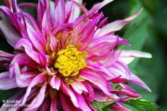 Pink Garden Flower  By Maureen McDonald