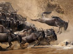 See a photo of wildebeests jumping into water in Kenya, and download free wallpaper from National Geographic.