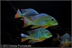 Geophagus Altifrons Cichlid Aquarium, Aquarium Set, Tropical Fish Aquarium, South American Cichlids, Tropical Freshwater Fish, Small Fish, Beautiful Fish, Colorful Fish, Oscars