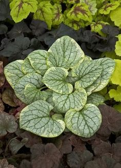 BRUNNERA 'King's Ransom' has wide, creamy yellow margin and light cream frosting over the remainder of the silver leaves. After the dainty blue forget-me-not type flowers are produced in spring, the margins lighten to creamy white.  This plant has a slightly smaller habit than 'Jack Frost', making it just the right size to tuck into combination containers.