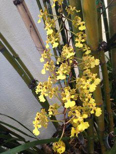 Orquídea Mexicana