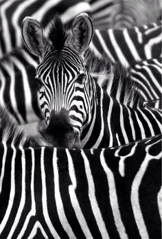 Find images and videos about cute, black and white and nature on We Heart It - the app to get lost in what you love. Zebra Wallpaper, Iphone 5s Wallpaper, Iphone Wallpapers, Iphone 4s, Reptiles, Mammals, Cute Baby Animals, Animals And Pets, Zebra Face