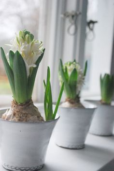 windowsill blooms - hyacinths are perfect for this time of year