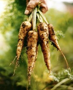 Country Living by lucille (Parsnips) Growing Parsnips, Fruits And Veggies, Vegetables, Healthy Eyes, Country Lifestyle, Grow Your Own Food, Grow Food, Farms Living, Permaculture