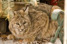 A bobcat decided to pay a University Hill neighborhood a visit Friday morning land stayed long enough for at least one Boulder resident to snap a few photos of the elusive feline. Get Shot, Bouldering, Art Reference, The Neighbourhood, Colorado, Wildlife, Creatures, Backyard, Cats