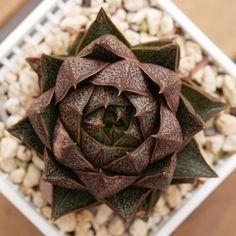Echeveria purpusorum 大和锦 2019-02-17 #succulents #多肉植物 #echeveria