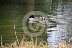 Canada goose in profile on a pond