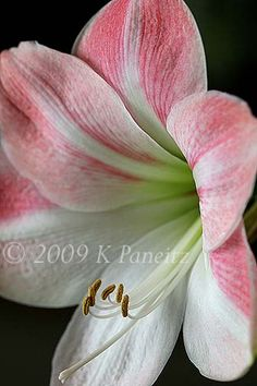 My Amaryllis Collection: Amaryllis 'Apple Blossom'
