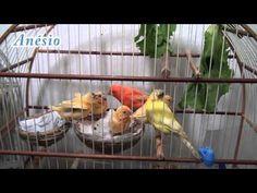 Canário do Reino e 4 filhotes  Parte  5  De 21 a 54 dias