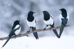 common magpies (photo by marcin perkowski)