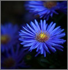 Blue asters, one of the flowers listed as my birthflower bday flowers birth September Birth Flower, September Flowers, Birth Month Flowers, Aster Flower Tattoos, Flower Tattoo Designs, Rose Tattoos, Tatoos, Tattoo Floral, List Of Flowers