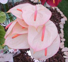 Antúrio (Anthurium andraeanum).