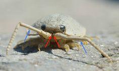 Ligia oceanica (Crustacea - Ordem Isopoda, Subordem Oniscidea)   setas vermelhas - primeiras antenas ou 1º par de antenas   setas azuis - segundas antenas ou 2º par de antenas