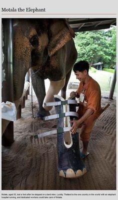 Animal Prosthetics