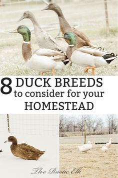 If you are thinking about raising ducks for meat and eggs, then you need to read these tips from The Rustic Elk! We will help you figure out the best breed of duck for you, based on this list of the 9 best duck breeds. Read here for all of the information on choosing your perfect waterfowl. #ducks #breeds #meat #eggs #homesteading #farming #homestead Backyard Ducks, Backyard Farming, Chickens Backyard, Raising Ducks, Raising Chickens, Keeping Chickens, Duck Breeds, Geese Breeds, Portable Chicken Coop