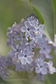 Lilac by H_D. Please Like http://fb.me/go4photos and Follow @go4fotos Thank You. :-)                                                                                                                                                      More