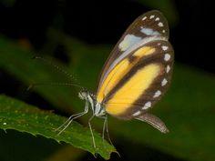 Butterfly, Danainae