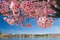 Lake Balboa, San Fernando Valley, California So beautiful when the cherry blossoms are in bloom...