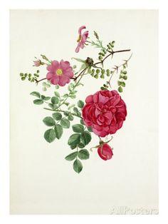 Rosa multibracteata, Rosa Cerise Bouquet Giclee Print by Graham Stuart Thomas - at AllPosters.com.au