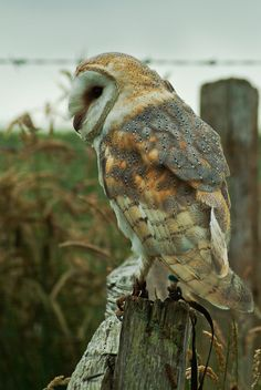 Love the muted colors of this beautiful barn owl.