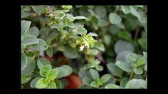 Medicinal plants in the garden - Modern Garden Care, Medicinal Plants, Medicine, Leaves, Modern, Horticulture, Flower Pots, Trendy Tree, Healing Herbs