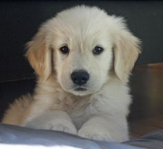 Nothing is cuter than a Golden Retriever puppy.  Period.