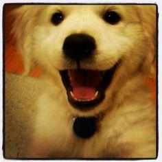 Miles The Contender.com #Dog. He was such a #cute English Cream Golden Retriever #puppy!