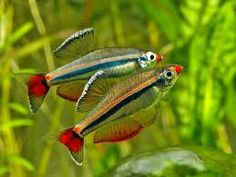 Tanichthys micagemmae, NOT white clouds, Tanichthys albonubes. Thicker stripes than white clouds, redder lips set this species apart. Tropical Freshwater Fish, Tropical Fish Aquarium, Freshwater Aquarium Fish, Saltwater Aquarium, Aquascaping, Danio Fish, Tetra Fish, Salt Water Fish, Cool Fish