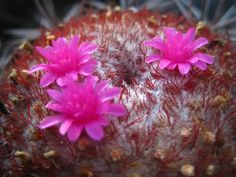 Melocactus bahiensis - See more at…