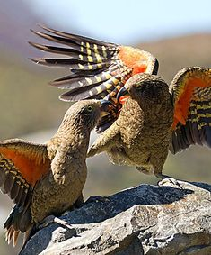 parrots won't be shifted Organized Gangs of Kea Parrots Ravaging Kaiteriteri:Organized Gangs of Kea Parrots Ravaging Kaiteriteri: Nature Animals, Animals And Pets, Cute Animals, Rare Birds, Exotic Birds, Colorful Birds, Pretty Birds, Beautiful Birds, Parrot Pet
