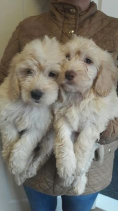 Cockapoo's for sale/ ready now/ PRA Clear | Leicester, Leicestershire | Pets4Homes