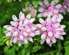 Coronilla-Varia-Seeds-50-Seeds-Crown-Vetch-Leguminosae-Flower-Garden-Seeds-A086
