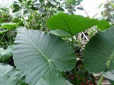 https://jungletropicale.com/2015/02/alocasia-odora/    #jardinage