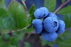 Co zrobić, by borówka amerykańska owocowała? | Zielony Ogródek Blueberry Images, Blueberry Plant, Growing Blueberries, Wild Blueberries, Highbush Blueberry, Fruit List, Old Farmers Almanac, Soil Ph, Plant Guide