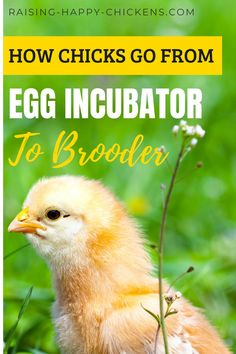 Incubation's finished, your chicks have hatched and now they need to go from egg incubator to brooder. But how? And when? Learn how long newly-hatched chicks should stay in the incubator when chicks progress at different speeds and when they should move to the brooder. Fancy Chicken Coop, Chicken Home, Best Chicken Coop, Backyard Coop, Backyard Chicken Coops, Chickens Backyard, Raising Ducks, Raising Chickens, Get Rid Of Flies