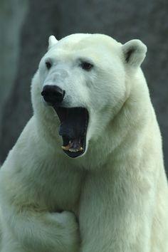 Polar bear anatomy facts
