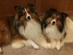 Brother and sister shelties