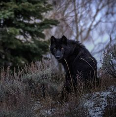 Photo by Yellowstone // A black wolf's piercing eyes cut through the dusk on a fall evening in Yellowstone. The name gray wolf can sometimes be misleading since their coat color can carry from white to black. Genetics shows the black coat c Beautiful Wolves, Most Beautiful Animals, Yellowstone Wolves, Wolf Hybrid, Wolf Images, Wolf Photos, Porsche, Wild Wolf, Fox Art