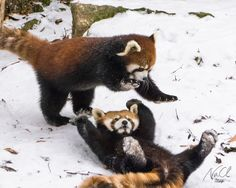 Pictured here are the red pandas at Cincinnati Zoo rolling about in the snow. They kept onlooker's entertained with their energetic moves