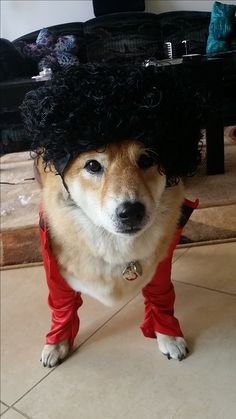 Shiba Inu is looking like top Doge in the fashionable outfit! Love Shiba Inus? Learn more about this breed at www.myfirstshiba.com