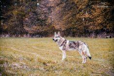 Staronový blog vonku  http://divokavsrdci.sk/?p=248 #divokavsrdci #angaszvlcejhory #czechoslovakianwolfdog #wolfdog #visualoflife #dreamcometrue #lifeofadventure #wildheart #stayandwander #awakethesoul #nikon #nikonphotography #livefolk #livetheadventure #letsgetlost #wildernessculture #lifewithwolf #lifewithwolfdogs #befree #wildandfree #boho #boholife #bohemian