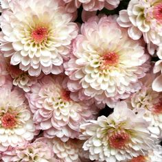 Beautiful mums in pink