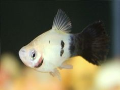 panda platy fish - Google Search